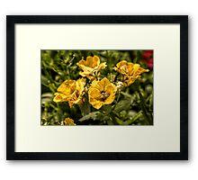 Nemesia Sundrops Framed Print