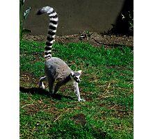 Ring Tail Lemur Photographic Print