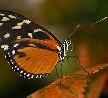 Fall Butterfly by Yvette Bielert