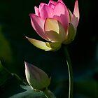 Lotus #3 by julayneluu