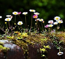 Daisies growing on a mossy wall... by lynn carter
