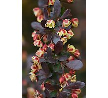 Barberry Flowers Photographic Print