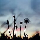 Dandelion Sunset by AbigailJoy