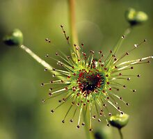 Heart of a Sundew by LeeoPhotography