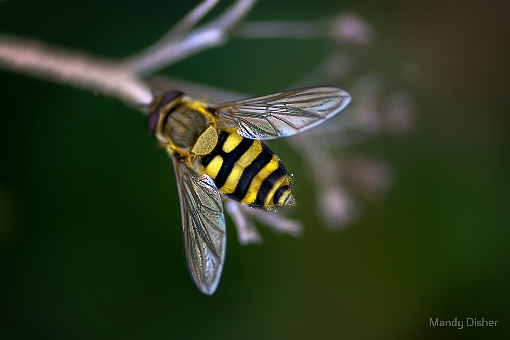 Hoverfly by Mandy Disher