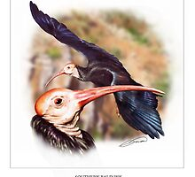 SOUTHERN BALD IBIS 2 by DilettantO