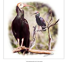 SOUTHERN BALD IBIS 3 by DilettantO
