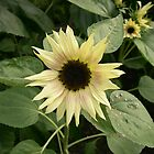 sunflower by jackie martino