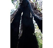 Looking through a Giant Tingle tree Photographic Print