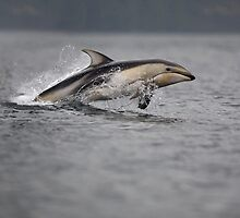 Pacific White-sided Dolphin by Tom Middleton