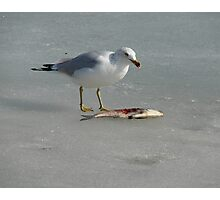 Seagull on the Mississippi River in Winter Eating A Fish Photographic Print
