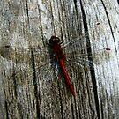 Dragon fly by loralea
