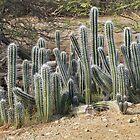 cactus by Dirk van Laar