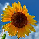 Sun- Flower by carlosramos