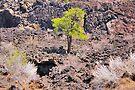 Tree at Sunset Crater Park, AZ by LudaNayvelt