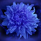 Chrysanthemum in Blue by Sandy Keeton