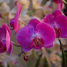 Pink  Orchids by LudaNayvelt