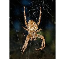 Orb weaver or common Garden spider Photographic Print