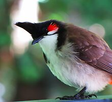 Red Whiskered Bulbul by cyno
