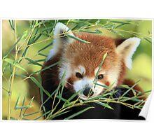Red Panda in Bamboo Poster