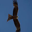 birds #98, in flight by stickelsimages