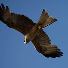 birds #99, the glide by stickelsimages