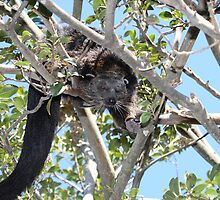 Climbing Binturong by Paul Duckett
