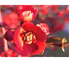 Crab Apple Flower Photographic Print