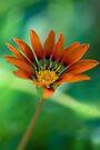 Orange Daisy by Renee Hubbard Fine Art Photography