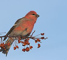Pine Grosbeak by Wayne Wood
