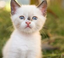 Cute white kitten by Ian Middleton