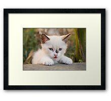 Cute white kitten Framed Print