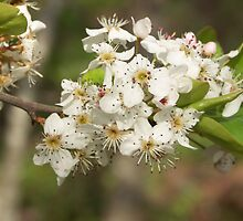 Pear Blossoms by Bob Hardy