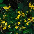 Wild St. Johns Wort by BellaStarr