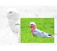 Australian Birdlife - Galah Photographic Print