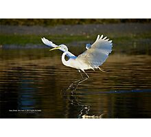 Ardea Alba - Great White Egret Landing On Porpoise Channel - Stony Brook, New York Photographic Print