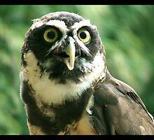 Little Owl by Jes Dennett