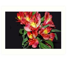 Red Alstroemeria Flower Art Print