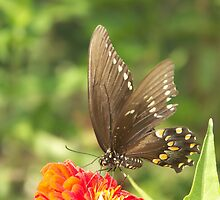 Black Swallowtail Butterfly by Bob Hardy