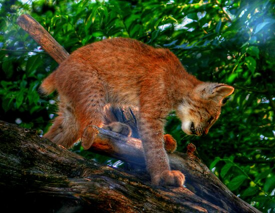 Baby Lynx by Larry Trupp