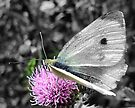 Gossamer Wings! by naturelover
