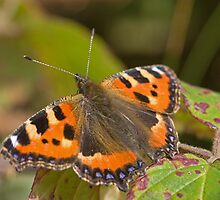 Small Tortoiseshell - Butterfly by Jon Lees