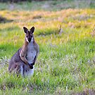 Wallaby by feeee