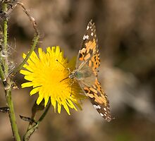 Painted lady butterflies, Cynthia cardui by Jon Lees