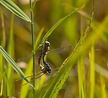 Common Hawker in hot love action!! by Jon Lees
