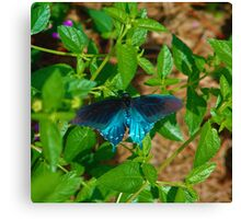 Black and Blue Butterfly Canvas Print