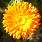 Marigold by Chris Corney