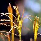 Grasses in the Wind by BarbL