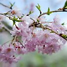 Cherry Blossoms © by Mary Campbell