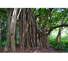 Under the Banyan Photographic Print